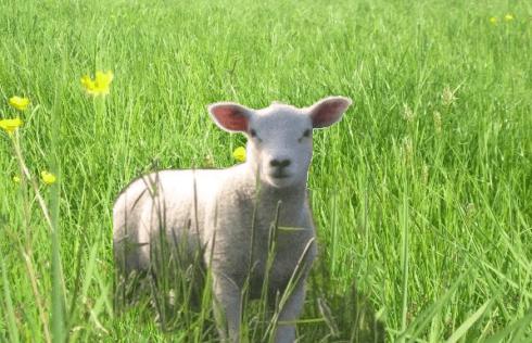 agneau vivant